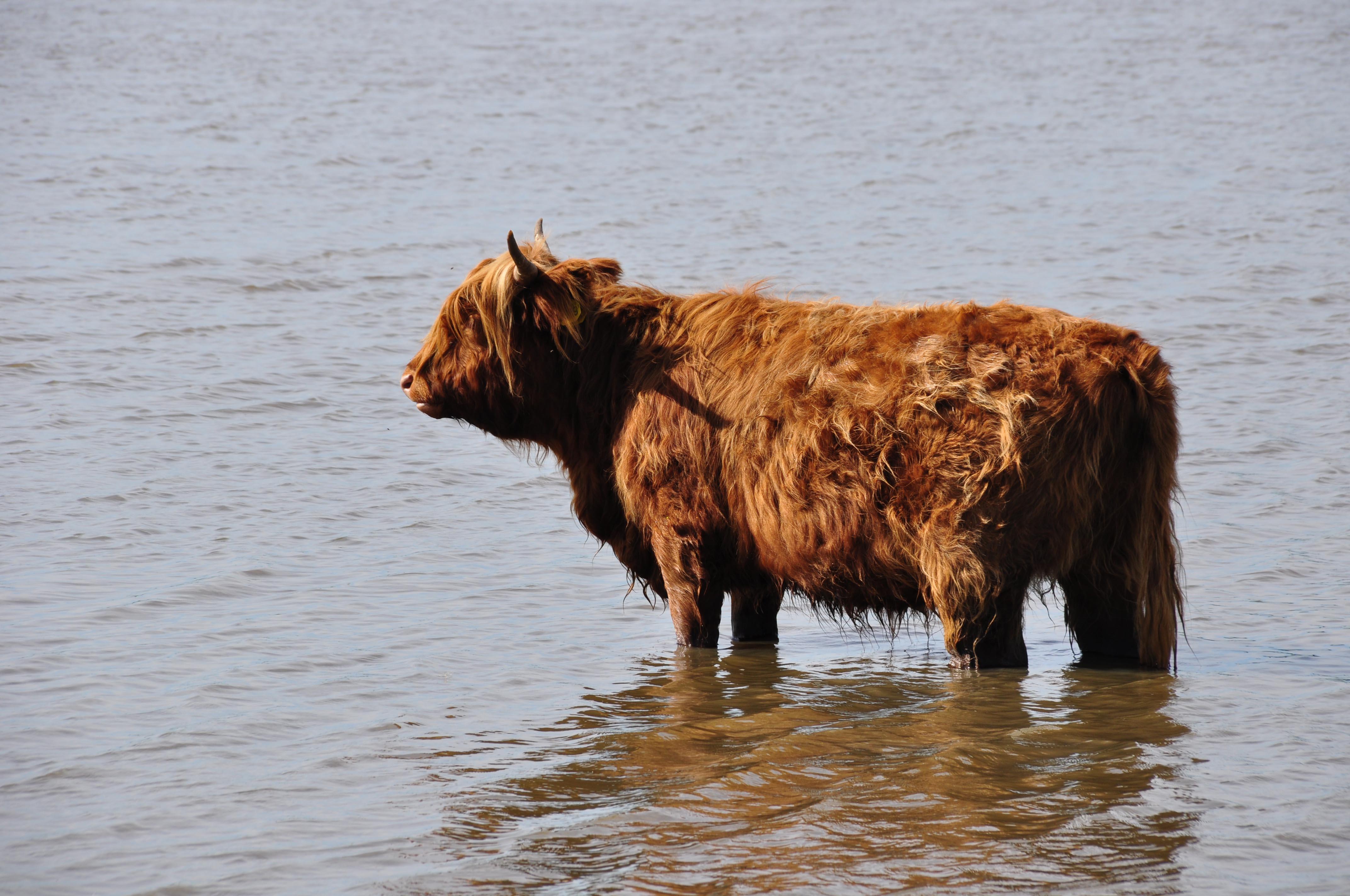 Schotse Hooglander Foto: Ap Mos