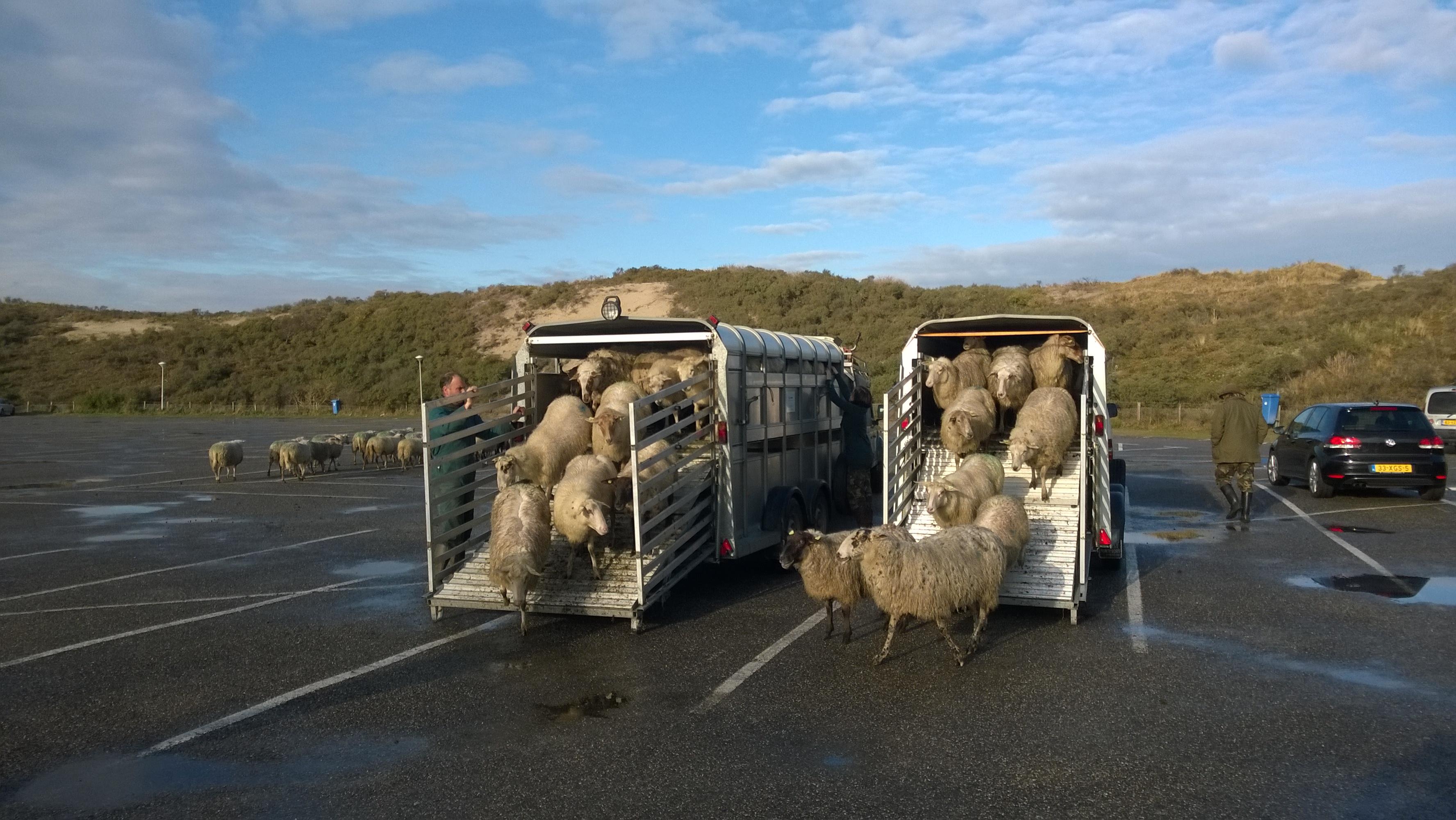 Kempense schapen komen aan op parkeerplaats De Kuil. foto Marijke Dirkson