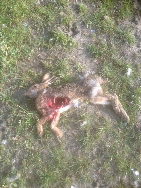 dood gebeten haas