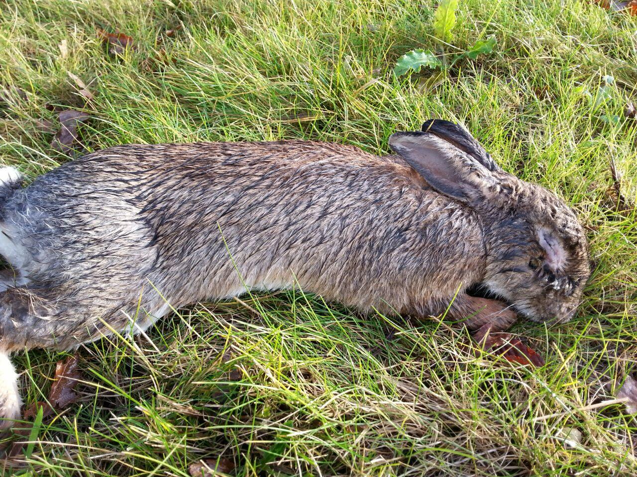 dood konijn myxomathose