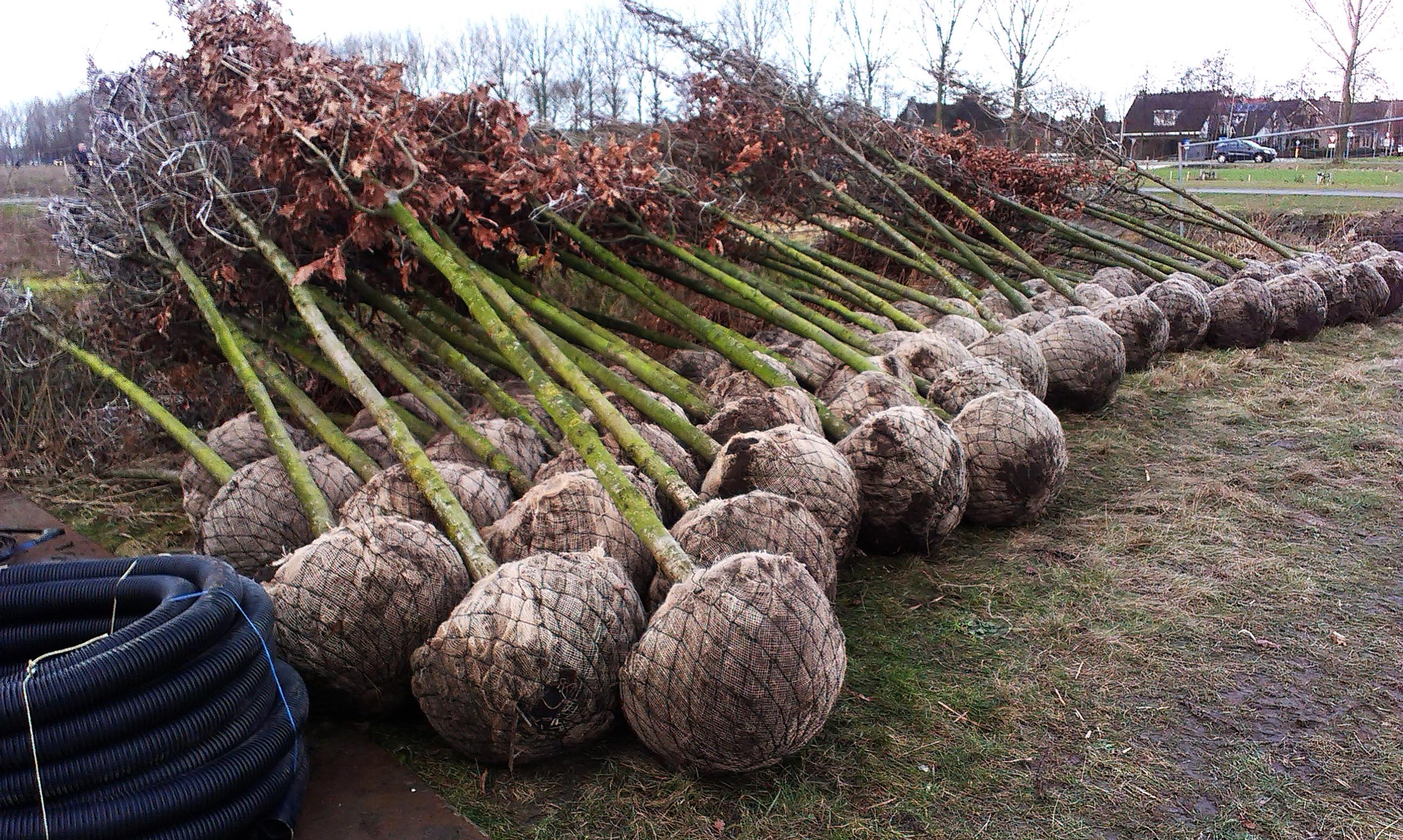 Eiken liggen klaar om geplant te worden