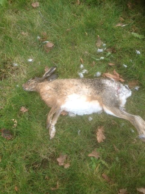 Regelmatig worden hazen en konijnen het slachtoffer van en jagende hond