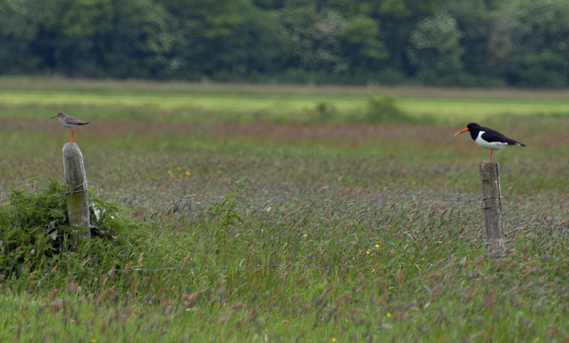 De weidevogels zullen al op korte termijn profiteren van een hoger waterpeil. Foto: tureluur en scholekster in de polder. Jenny van Leeuwen