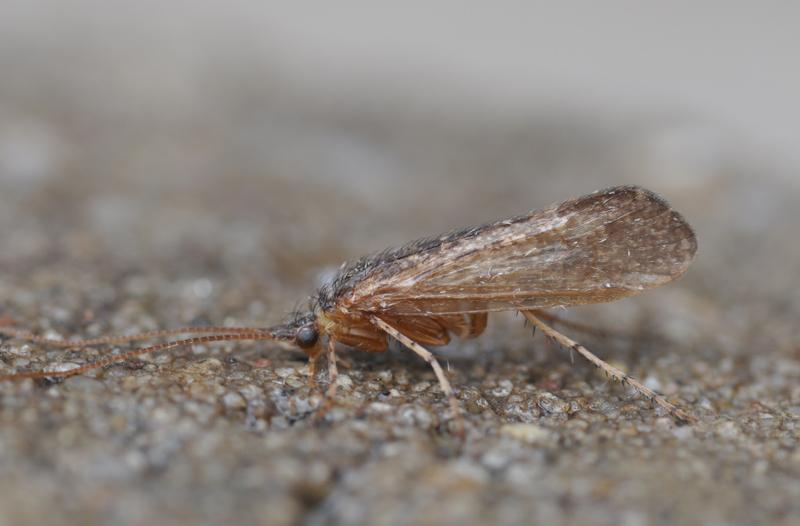Limnephilus hirsutus man 9-8-2013 Lentevreugd Wassenaar