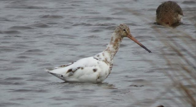 White black-tailed godwit, photo by Peter Broere