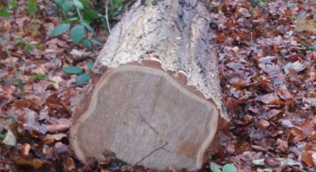 Gevelde acacia in het Haagse Bos - foto Stefan Wijfje