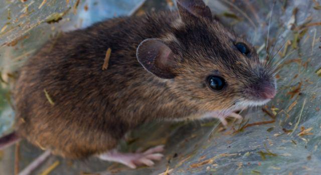 Bosmuis gevangen bij een onderzoek naar het voorkomen van verschillende muizensoorten in een van de Staatsbosbeheer gebieden van Stad en Duin – foto Mark Kras