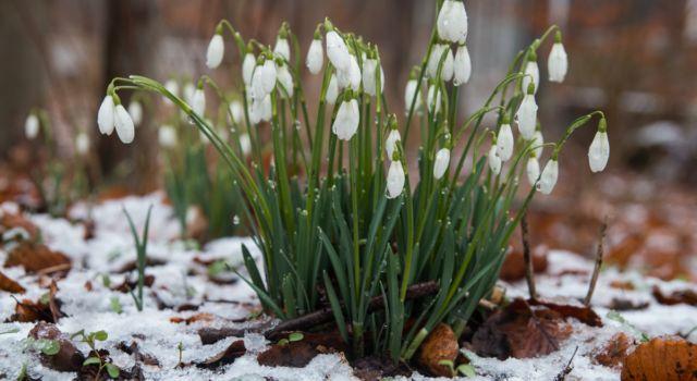 Sneeuwklokjes dringen bloeiend door bladerdek - foto Mark Kras