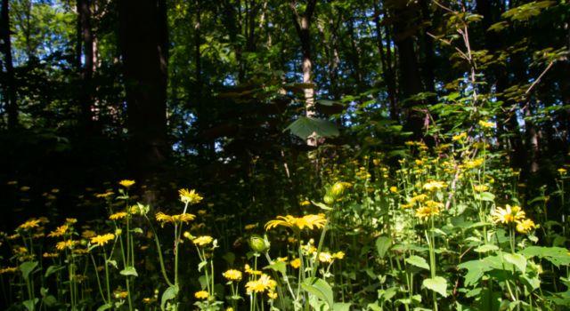 Hartbladzonnebloem een zeldzame plant in Nederland profiteert van het zomerse zonlicht in het Haagse Bos. Foto Mark Kras