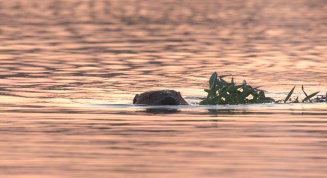 zwemmende bever